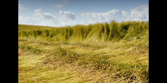 抗旱定亞18號胡麻品種抗旱性 高產豐收「武威豐田種業供應」