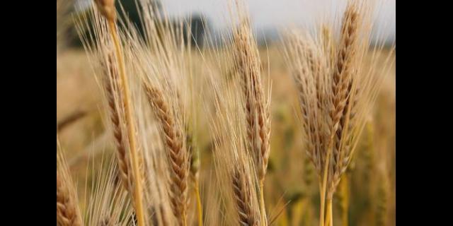 高产大麦种子甘啤6号品种价格 诚信企业「武威丰田种业供应」