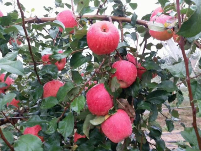 相城水果批发市场怎么进货 和谐共赢 苏州市开拓果蔬贸易供应