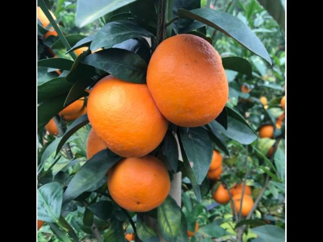 南环桥水果贸易报价 和谐共赢 苏州市开拓果蔬贸易供应