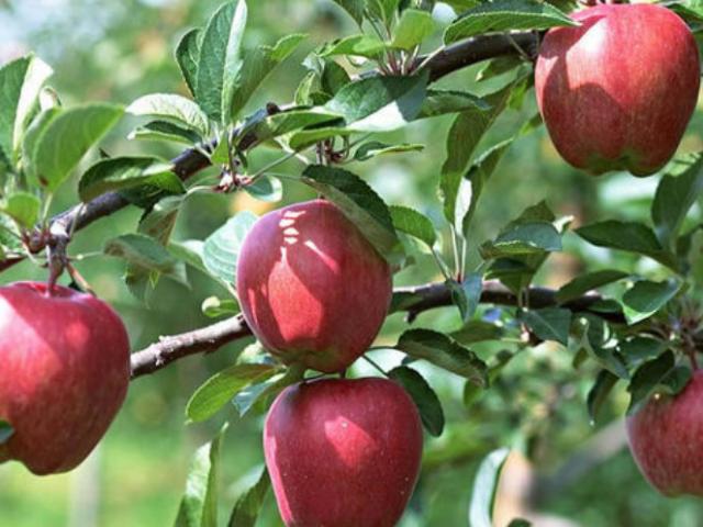 虎丘區供應各種蘋果 誠信經營 蘇州市開拓果蔬貿易供應