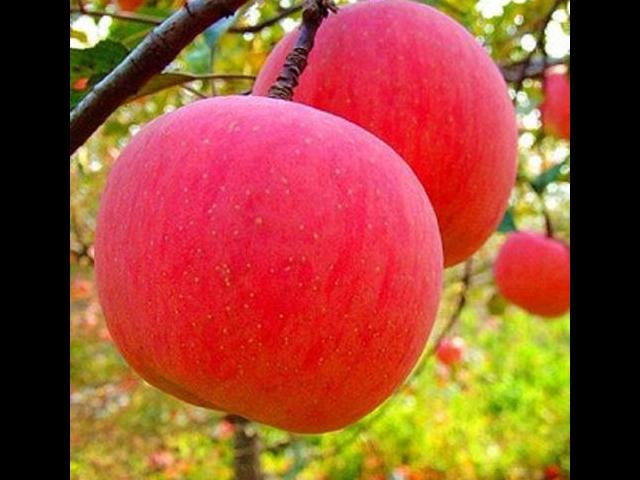 虎丘苹果代办价格 诚信服务 苏州市开拓果蔬贸易供应