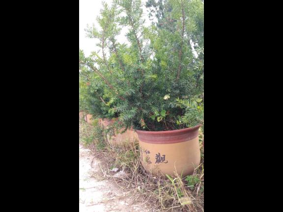 泰安曼地亞紅豆杉樹價格「淄博鷹松農業發展供應」