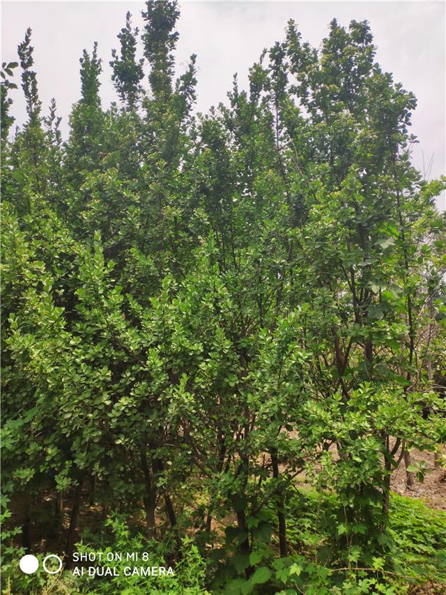 济南北海道黄杨苗木,北海道黄杨