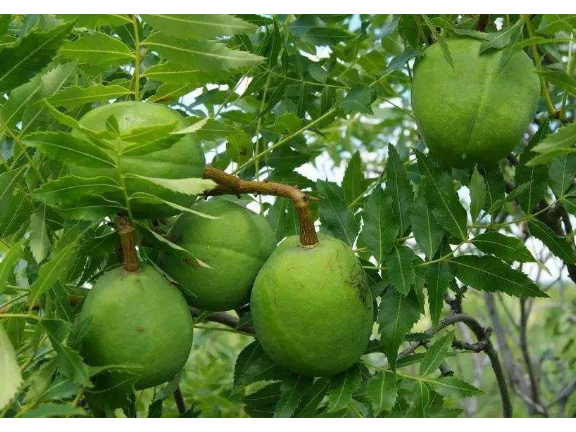 临沂采购文冠果树「淄博鹰松农业发展供应」