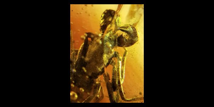 墨西哥滅絕蟲珀鑒別「石光年蟲珀基地琥珀店供應」
