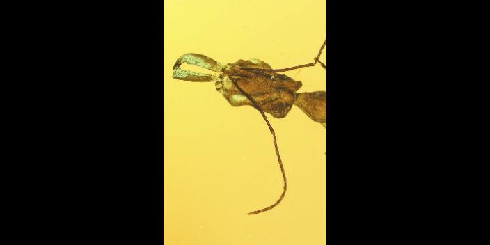 多米尼加植物虫珀多少钱,虫珀