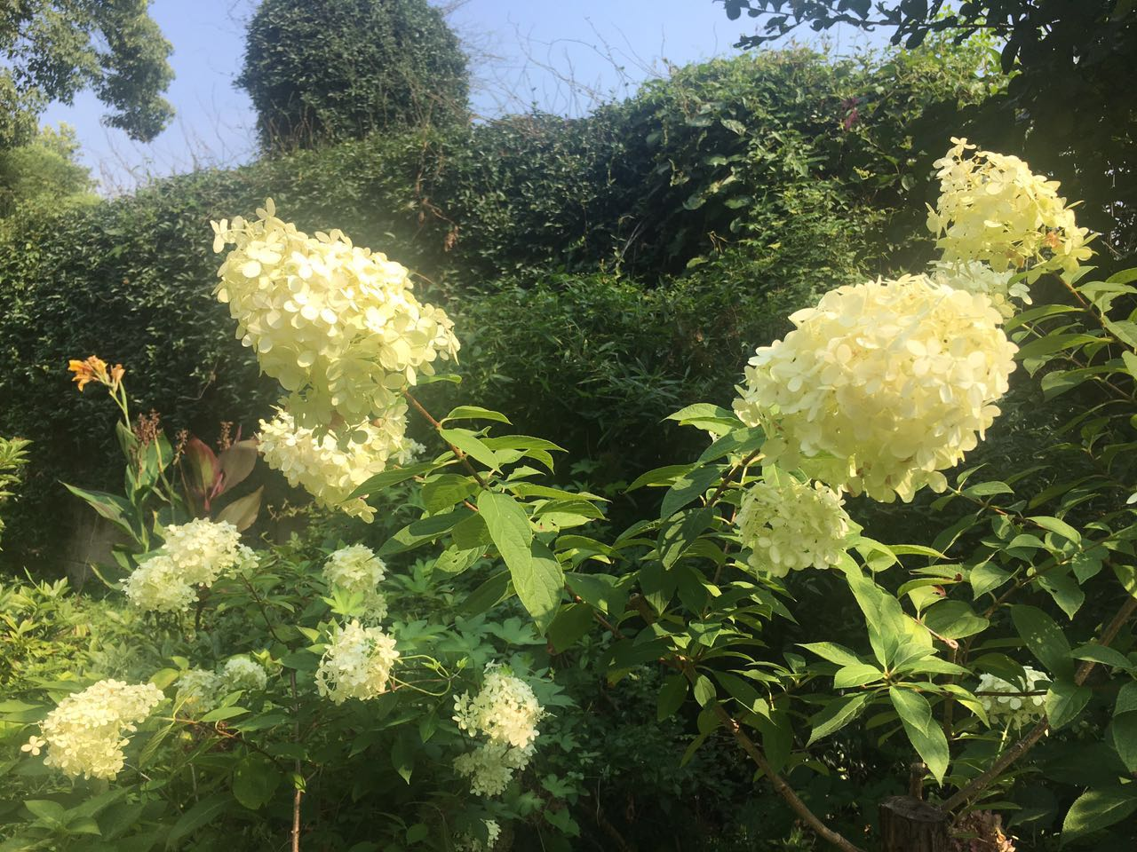 新疆貝拉安娜八仙花,八仙花
