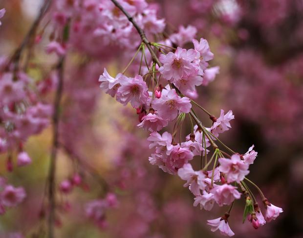湖北飛寒櫻櫻花,櫻花