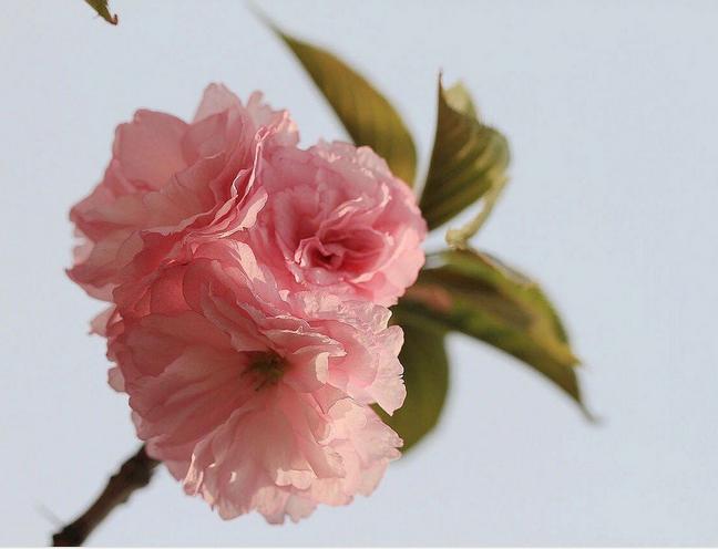 畢節苔清水櫻,櫻花