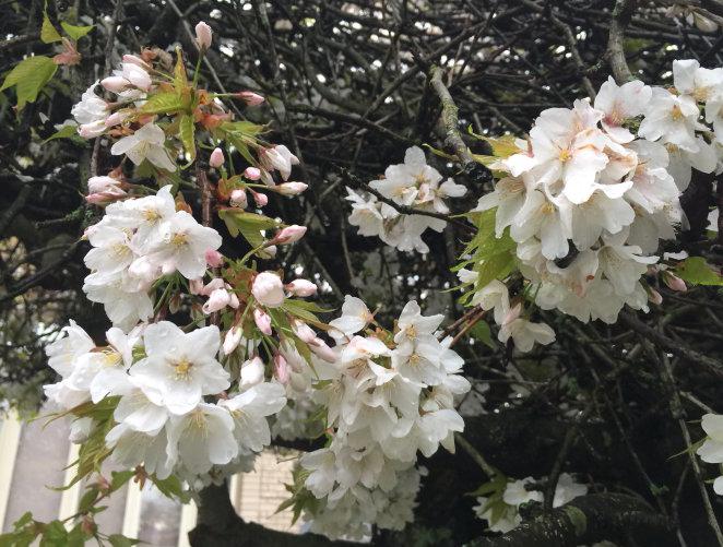 八重紅彼岸櫻櫻花,櫻花