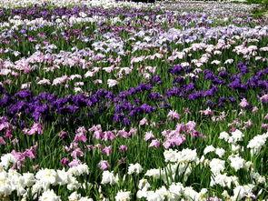 山東紫珠花菖蒲及常綠鳶尾品種齊全,花菖蒲及常綠鳶尾