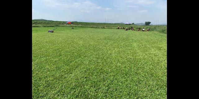 青海草坪,草坪