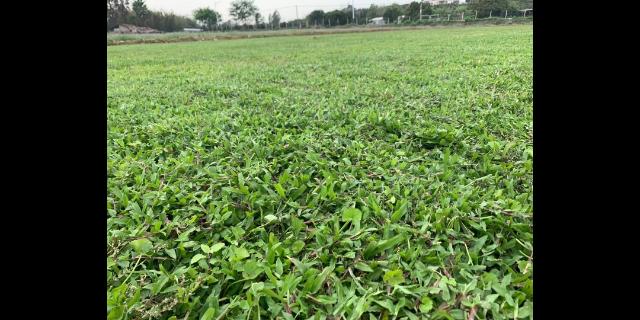安徽足球场草坪养护 欢迎咨询「广东博农园林绿化工程供应」