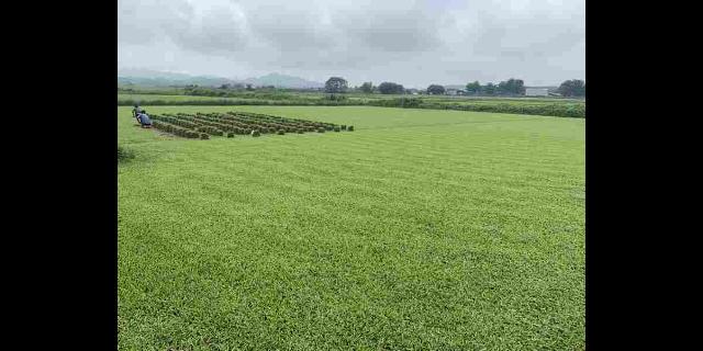 安徽批发草坪种植公司