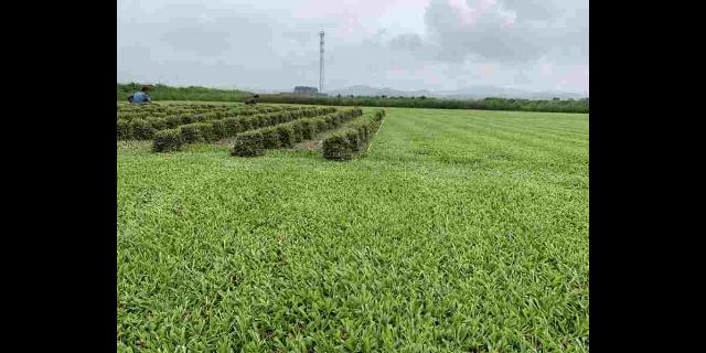 江西綠色草坪批發 來電咨詢「廣東博農園林綠化工程供應」