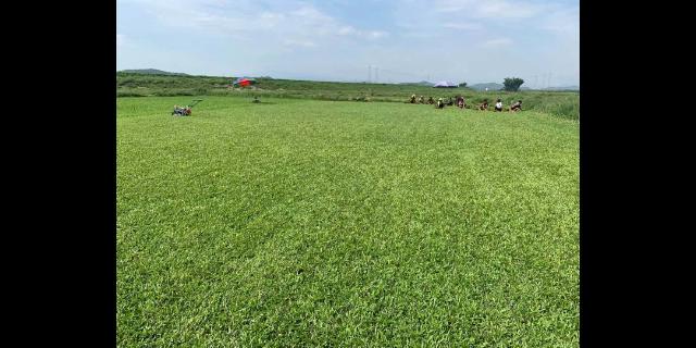 四川天然草坪种植方法 欢迎咨询「广东博农园林绿化工程供应」