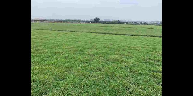 北京马尼拉草坪一平方多少钱