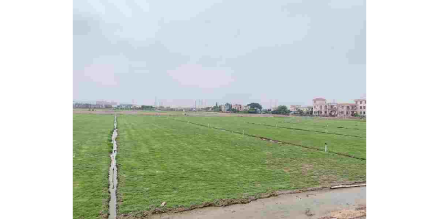 云南种植草坪基地
