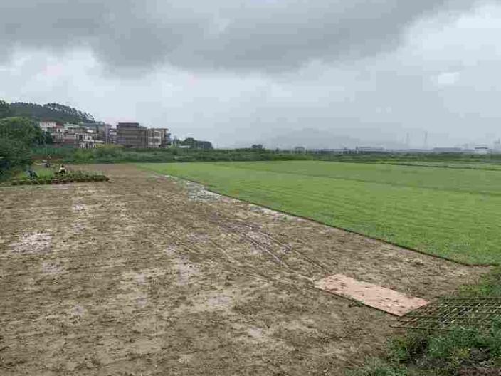 中山垂直大叶油草基地 欢迎来电「广东博农园林绿化工程供应」