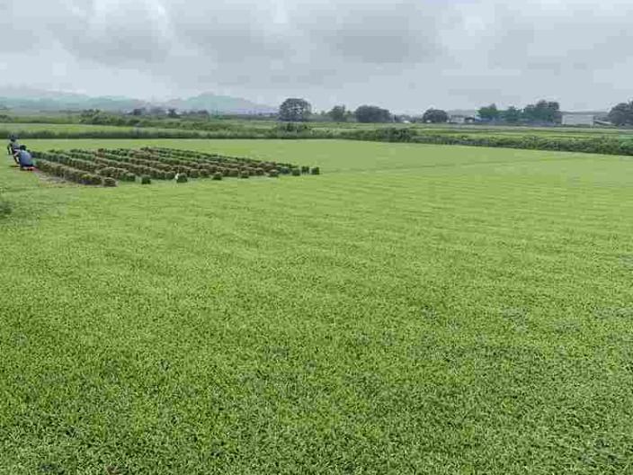 廣西大葉油草批發 來電咨詢「廣東博農園林綠化工程供應」