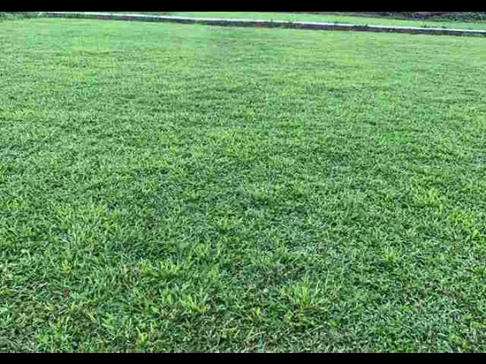 東莞城市大葉油草批發基地 來電咨詢「廣東博農園林綠化工程供應」