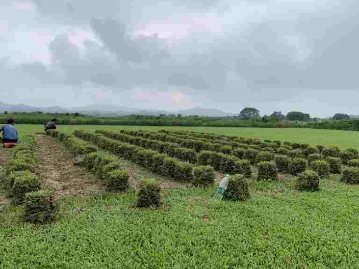 小院大叶油草批发厂家 欢迎咨询「广东博农园林绿化工程供应」