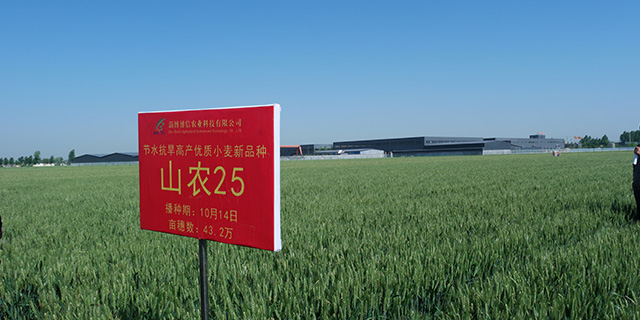 济南大穗小麦品种招商,小麦品种