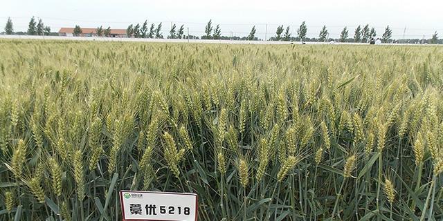 濰坊抗旱小麥品種廠家直供「淄博博信農業科技供應」