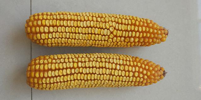 济南粮饲兼用型玉米品种代理