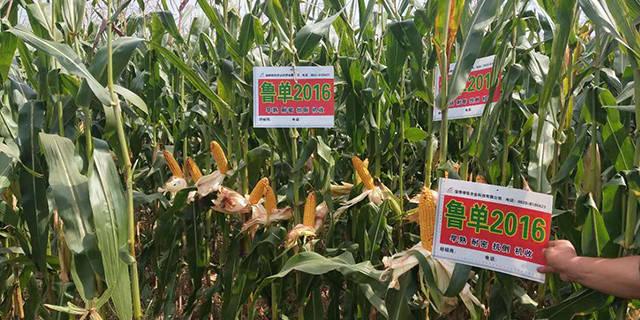 山东高产玉米品种公司「淄博博信农业科技供应」