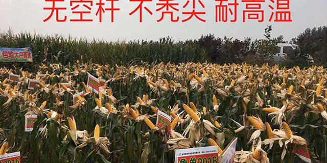 安徽抗旱玉米品种哪家好「淄博博信农业科技供应」