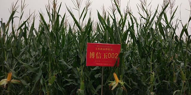 邯郸淄玉14玉米种子供应「淄博博信农业科技供应」