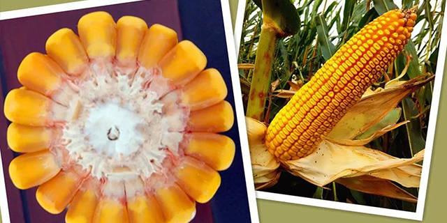 山西桓丰601玉米种子报价「淄博博信农业科技供应」