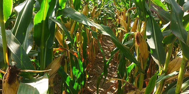 河南矮稈高產玉米種子哪里有賣「淄博博信農業科技供應」