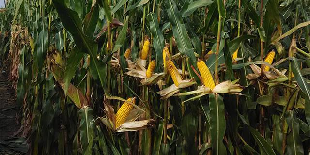 河南桓丰601玉米种子价格「淄博博信农业科技供应」