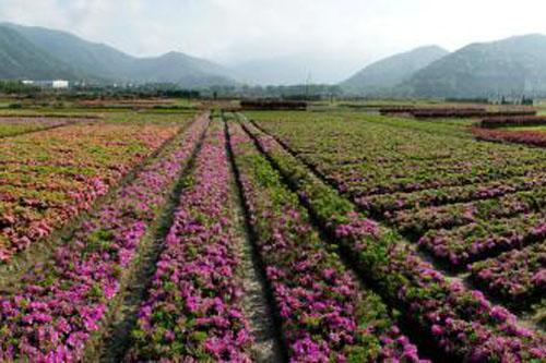 和平区野生花卉种植产品介绍