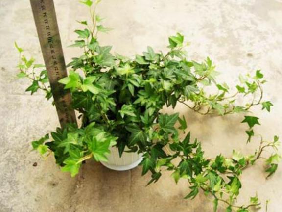 湖南油麻藤供货商 和谐共赢 成都卉美园林工程供应