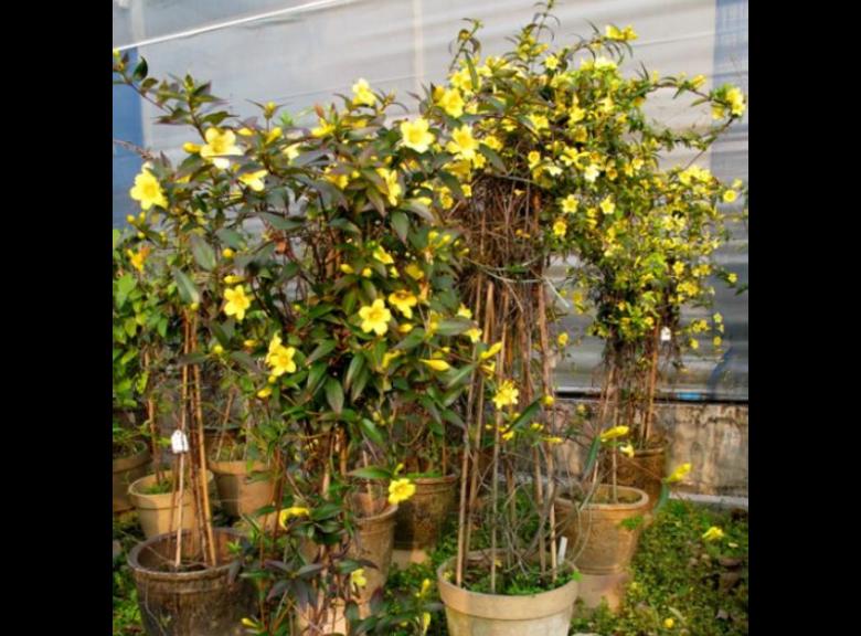 江蘇歐月月季苗木工程供應商 貼心服務「成都卉美園林工程供應」