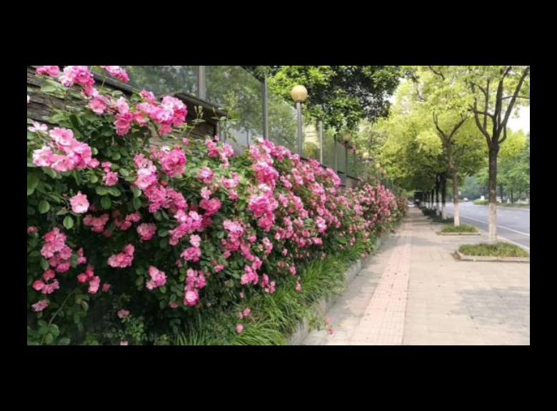 风车茉莉种植基地 和谐共赢 成都卉美园林工程供应