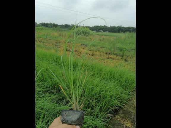 五彩石竹工程苗 抱诚守真 成都卉美园林工程供应