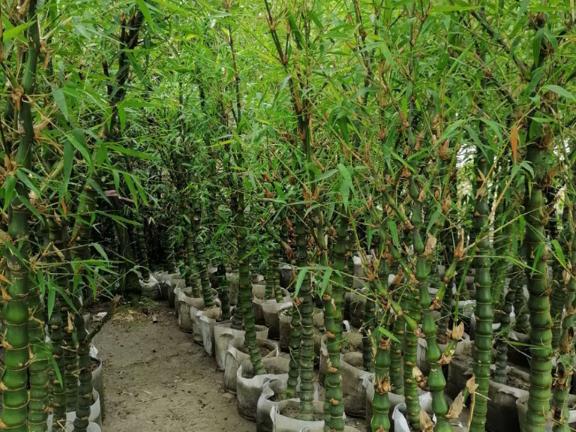 成都刚竹种植基地 和谐共赢 成都卉美园林工程供应