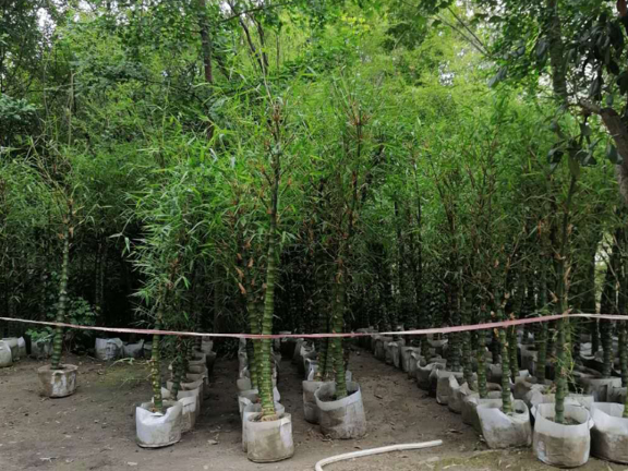 金镶玉竹高3-4米 服务为先 成都卉美园林工程供应