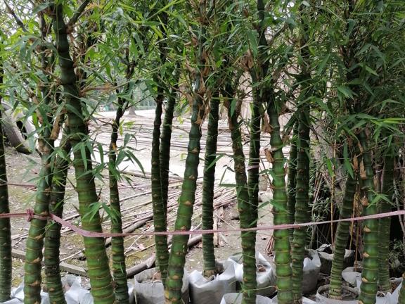 四川黄皮刚竹容器苗 诚信经营 成都卉美园林工程供应