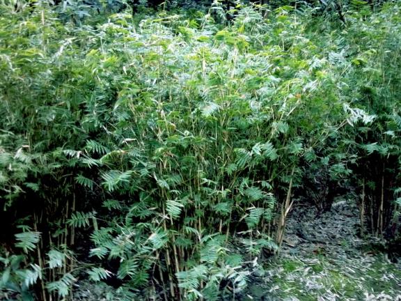 筇竹苗圃直供 创造辉煌 成都卉美园林工程供应
