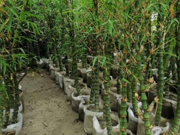 四川红竹高1.5-2.5米 诚信互利 成都卉美园林工程供应