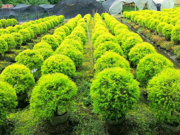 洒金一叶兰供应商 真诚推荐 成都卉美园林工程供应