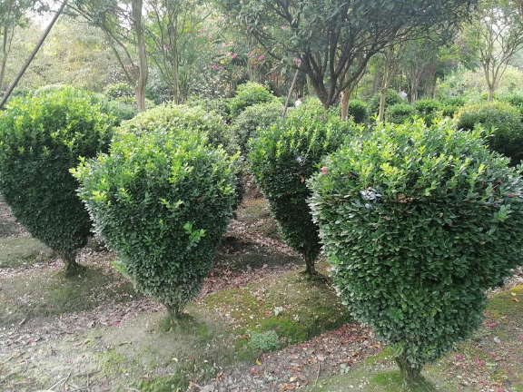 丛生红叶李绿化工程用苗 服务为先 成都卉美园林工程供应