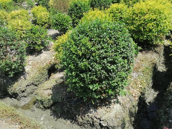 银姬小蜡地笼子成都基地 贴心服务 成都卉美园林工程供应