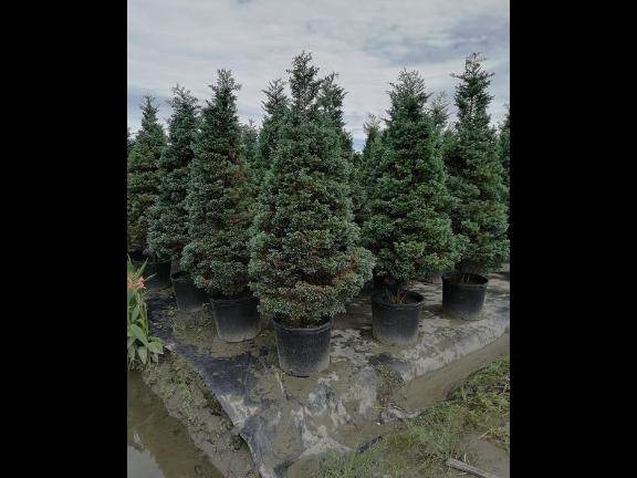 四川金禾女贞笼子种植基地 服务为先 成都卉美园林工程供应